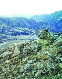 三江源雪豹或超千只牧民成