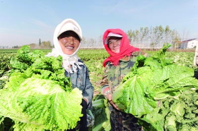 辽宁省沈阳市大民屯镇农民正在地里收获白菜