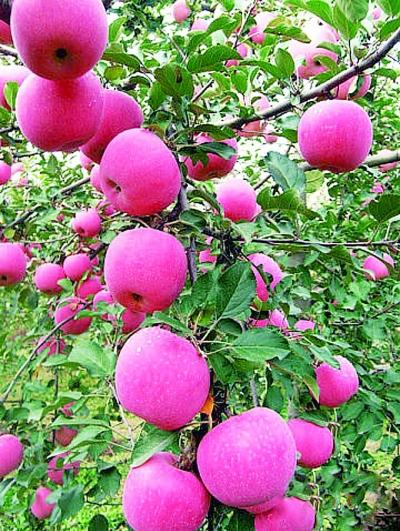 苹果树上的栖霞