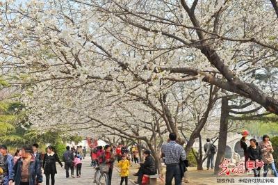 山东省青州市范公亭公园里樱花 玉兰怒放吸引众多游客前来...