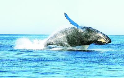 鲸目动物祖先身上发生的基因突变破坏了它们基本的