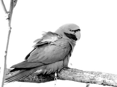 北京南海子麋鹿苑的鸟种类不少,但一只大绯胸鹦鹉的出现,引起了我们的关注,它是何方神圣?怎么腿上还带着链子? 2015年正月初十,我接到鸟的主人刘总的来电,述说了他走失的名为大葱的鹦鹉的特征,我仔细对照,应是这只。但奇特的是,他家在首都机场,这只鹦鹉是怎么百里迢迢来到南海子麋鹿苑,明智地选择了一个如此良好生态环境安顿下来的呢? 这还得从2月6日早晨说起,那天我像以往一样在苑中观鸟,瞥见一棵大柳树的顶端有个喜鹊般的大鸟。我举起望远镜一瞧,竟然是一只绿色的大鹦鹉。我拍了照,并发到了网上,这引起了网友的诸多