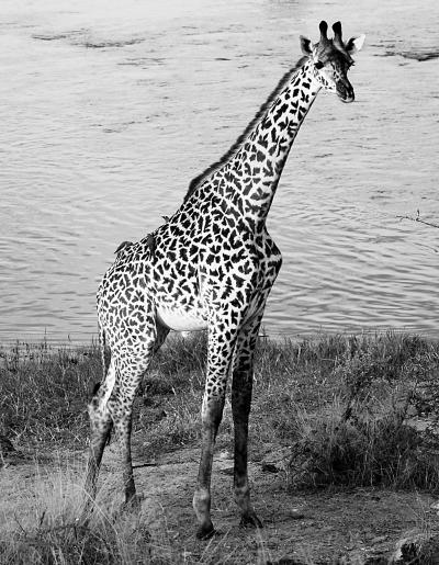 马赛长颈鹿是所有长颈鹿中个子最高的一个种群
