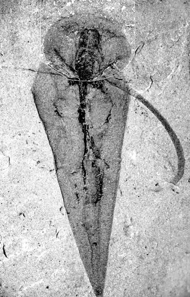 就是这样一个小动物,困扰了古生物学家近200年