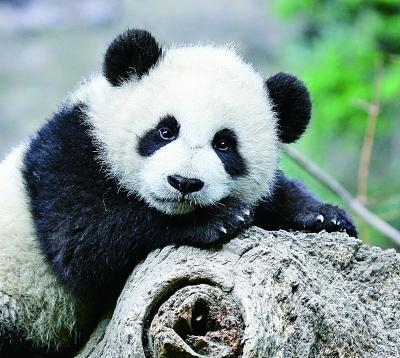 加强野生动植物及生物多样性保护.图为我国珍稀保护动物大熊猫.