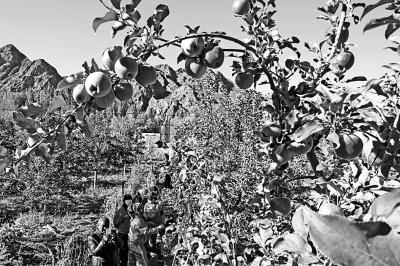 亩生态苹果喜获丰收,果园里一派丰收景象.光明图片/视觉中国-生图片