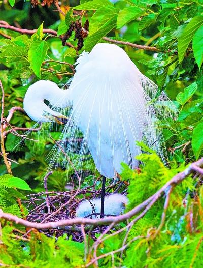 美丽白鹭聚集江苏洪泽湖湿地